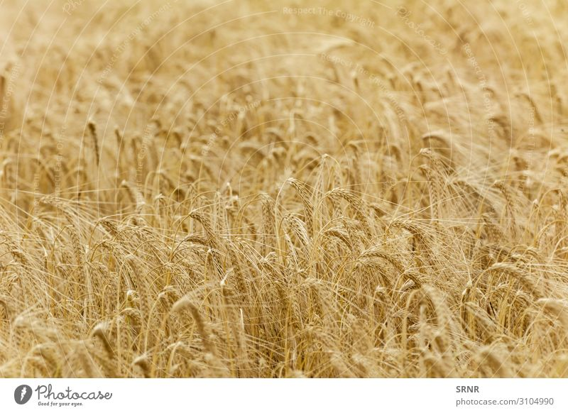 Rye Field Environment Nature Plant Grass Growth agricultural land agriculture Barley Cereal cereal crop cereal grain cereal plant corn Crops ear ecosystem field