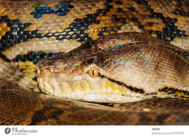 Python Animal Snake Long amniote boa carnivorous constrictor ectothermic fauna nonvenomous ophidia predator python Reptiles reptilian scales serpent serpentes
