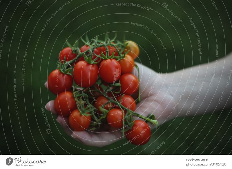 Nature Healthy Eating Plant Green Red Hand Food Garden Fruit Nutrition Field Bushes Fingers Vegetable To hold on