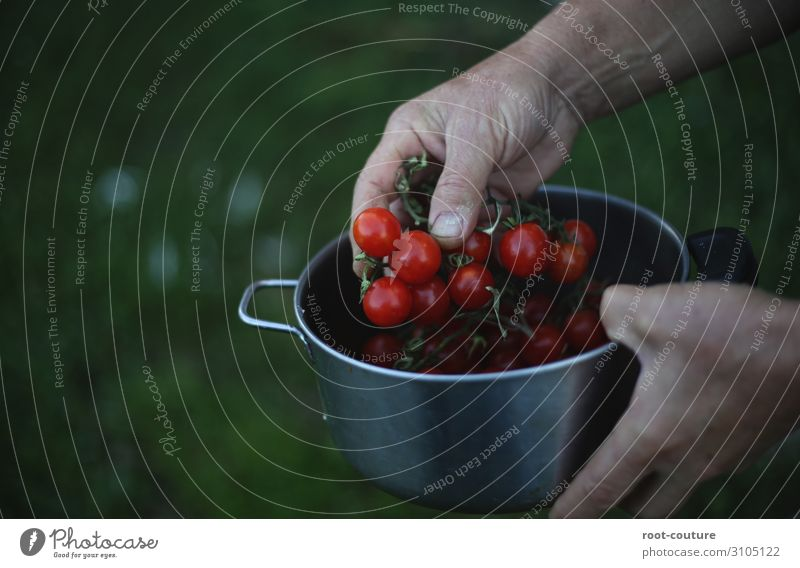 A pot with fresh organic tomatoes Summer Arm Hand Fingers Environment Nature Plant Bushes Agricultural crop Garden Field Green Red Farmer Vegan diet Eating