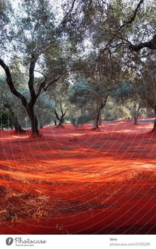 Olive tree Harvest Greece Crete nets Red