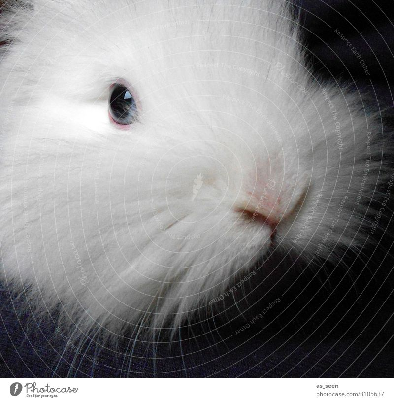 snow hare Animal Pet Animal face Pelt Zoo Petting zoo lion head rabbit Hare & Rabbit & Bunny 1 Looking Esthetic Authentic Cuddly Cute Positive Soft Pink Black