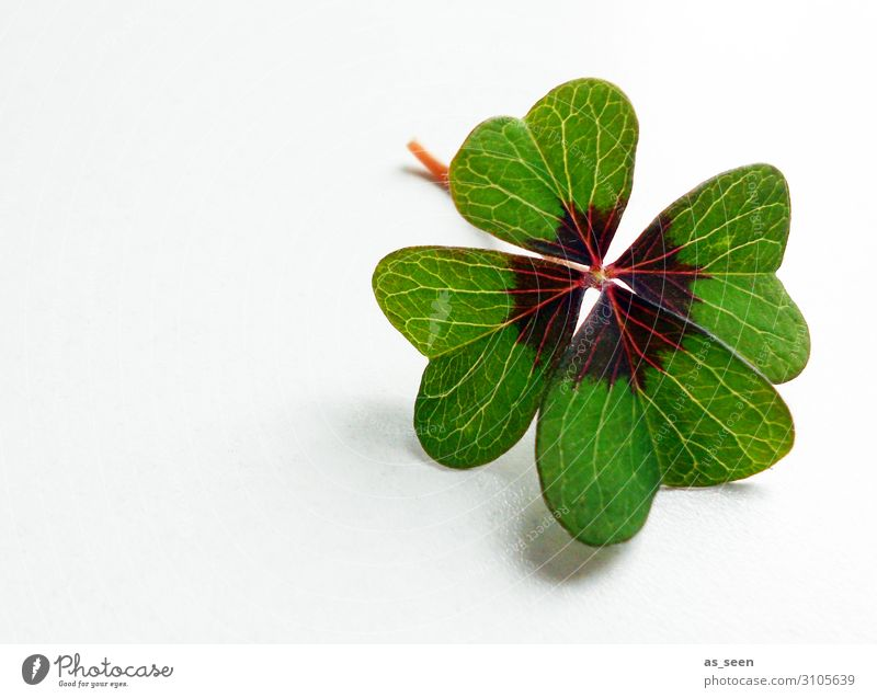 You're lucky Happy New Year's Eve Nature Plant Spring Leaf Foliage plant Cloverleaf Four-leaved Four-leafed clover Lie Esthetic Authentic Happiness Fresh