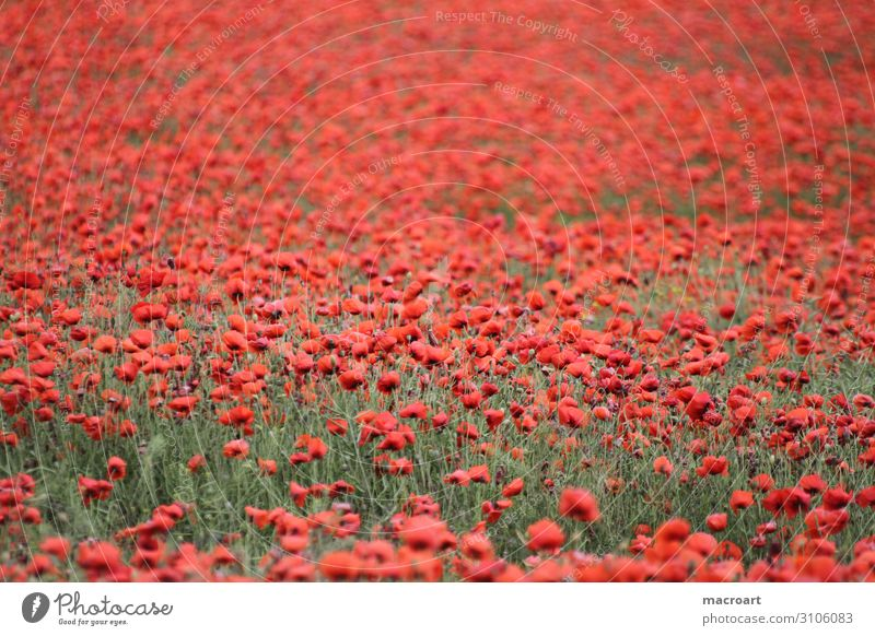 poppy field Field Agriculture red Plant Flower Pot Rocks blossom bloom Detail Corn poppy Blossoming Poppy field