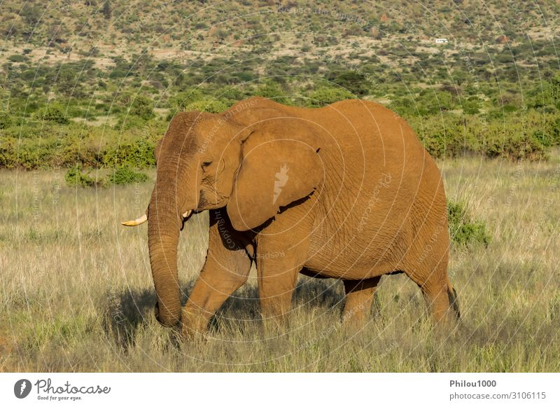 An old elephant in the savannah Playing Vacation & Travel Safari Nature Animal Park Large Africa Kenya Samburu african Battle Behavior big Elephant fight