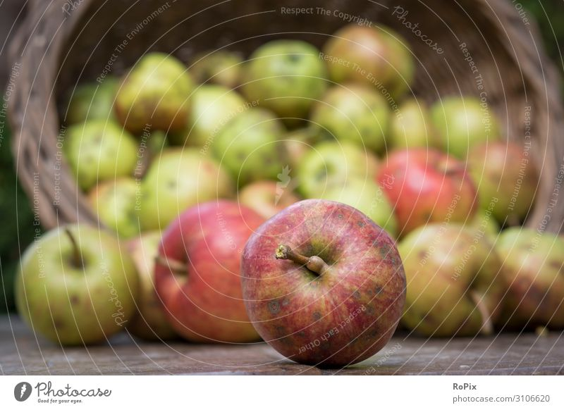 Harvesting apples. Nature Healthy Eating Landscape Food Lifestyle Environment Natural Health care Style Garden Work and employment Leisure and hobbies Nutrition