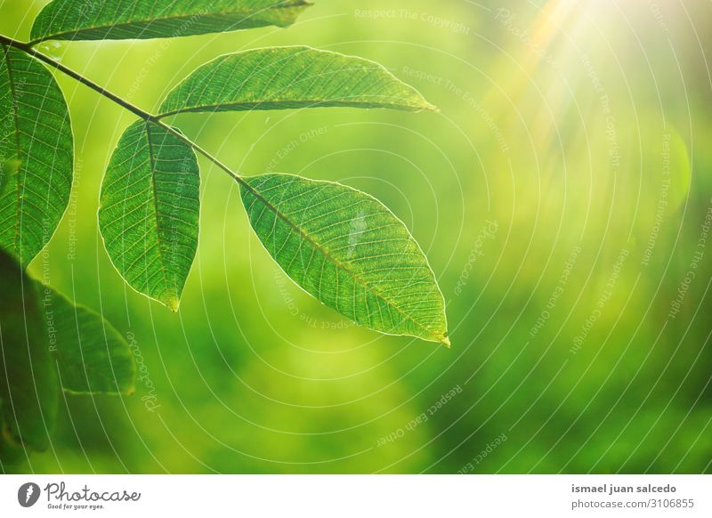 green tree leaves and sunlight in tne nature, green background Tree Branch Leaf Green Nature Natural Seasons Bright Sunlight Abstract Consistency Exterior shot