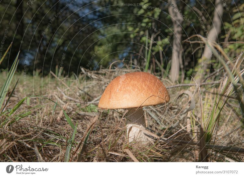 a stone mushroom with his bright brown has stands on a clearing Food Vegetable Nutrition Lifestyle Joy Human being Nature Plant Fresh Healthy Brown harvest