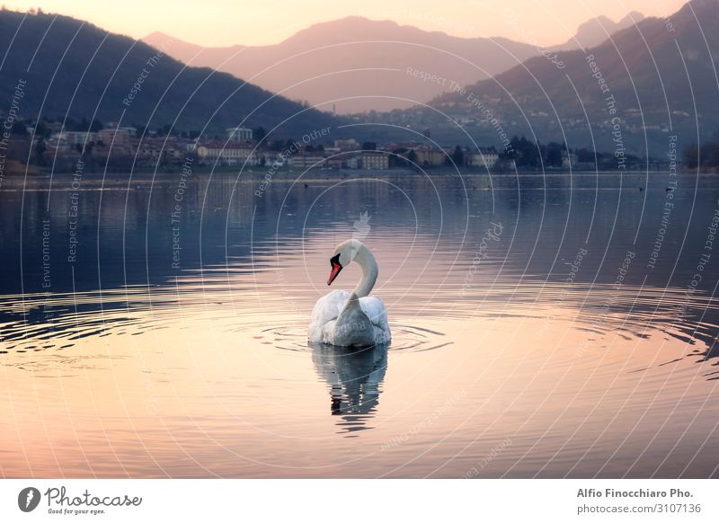 Elegant swan swimming in the lake Beautiful Vacation & Travel Tourism Sun Island Mountain Art Work of art Nature Landscape Sky Park Glacier Lakeside River