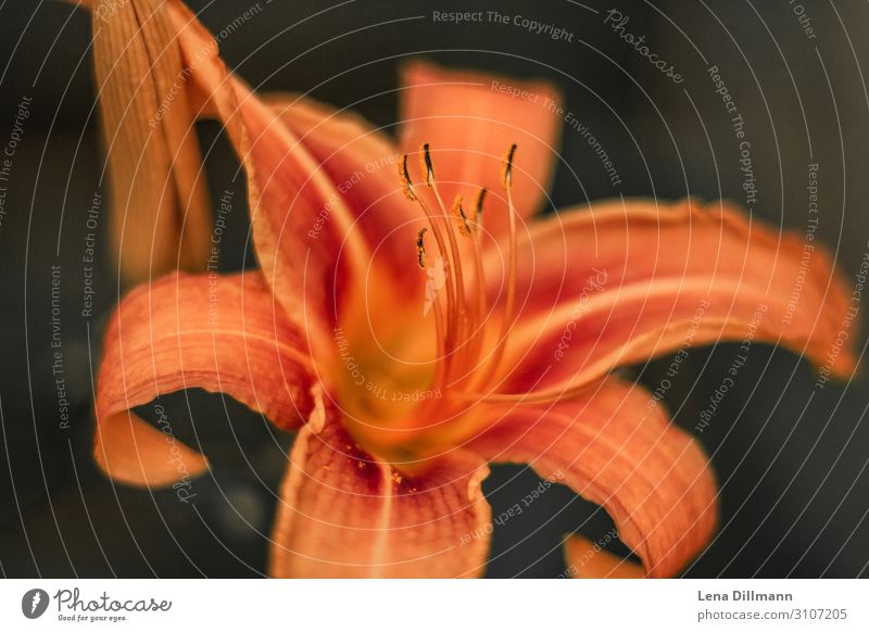 Orange Lily lily fire lily Nature out Exterior shot Lily plants Macro (Extreme close-up) Close-up Plant Blossom Flower Green Colour photo Beautiful Detail