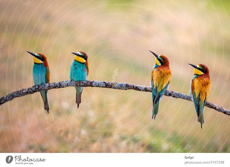 Meeting of four bee-eaters Eating Beautiful Group Environment Nature Animal Bird Bee Love Wild Blue Green White Colour wildlife colorful team Tropical branch