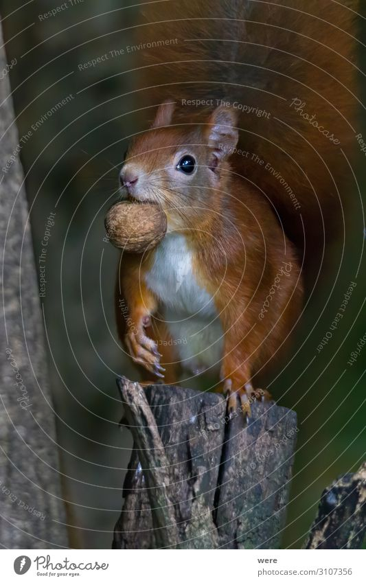 European brown squirrel Nature Animal Wild animal 1 Eating Feeding Soft Squirrel branch branches copy space cuddly cuddly soft cute european squirrel forest For