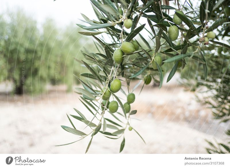 Green olives Human being Hand Autumn Tree Select Wild oil Harvest agricutlture andalusia meditearraen Jaen torredelcampo collect Mature food Farmer branch