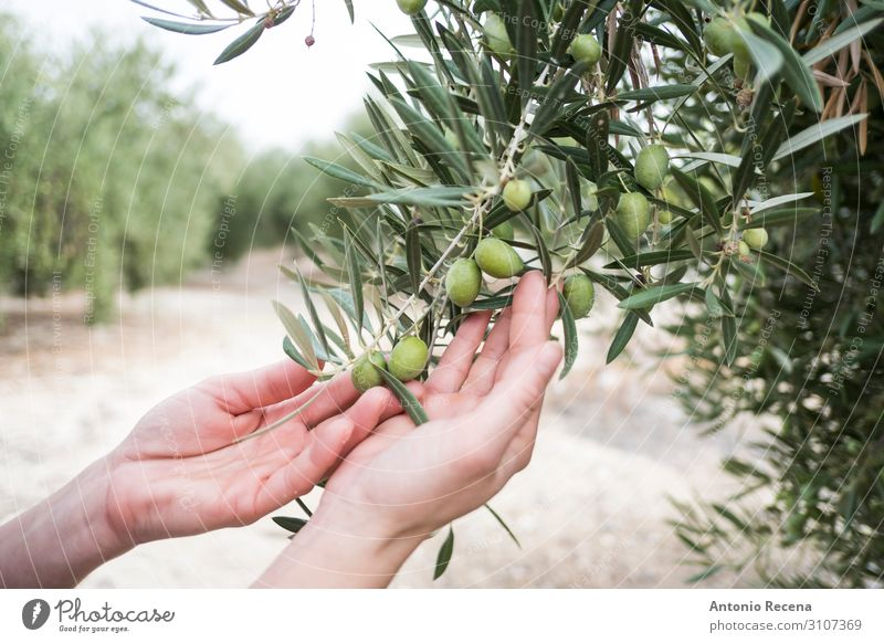 Mediterranean olives, green olive fruit in autumn, oil olive Human being Arm Hand Autumn Tree Select Wild Green Quality Harvest agricutlture andalusia