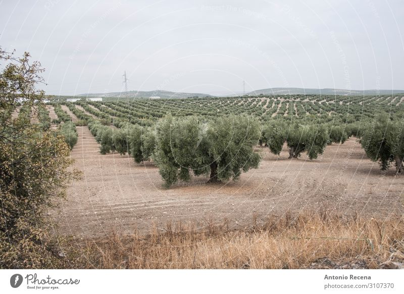 Olives Human being Hand Landscape Autumn Tree Select Wild Green olive oil Harvest agricutlture andalusia meditearraen Jaen torredelcampo collect Mature food