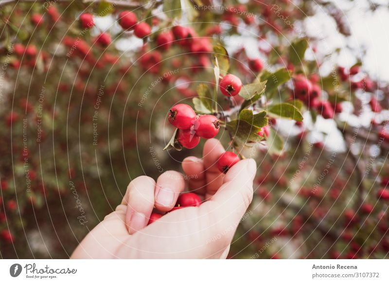 Crataegus monogyna Fruit Human being Woman Adults Hand Autumn Tree Select Wild Red examines collects majoletas Edible Berries collecting agriculture poisonous