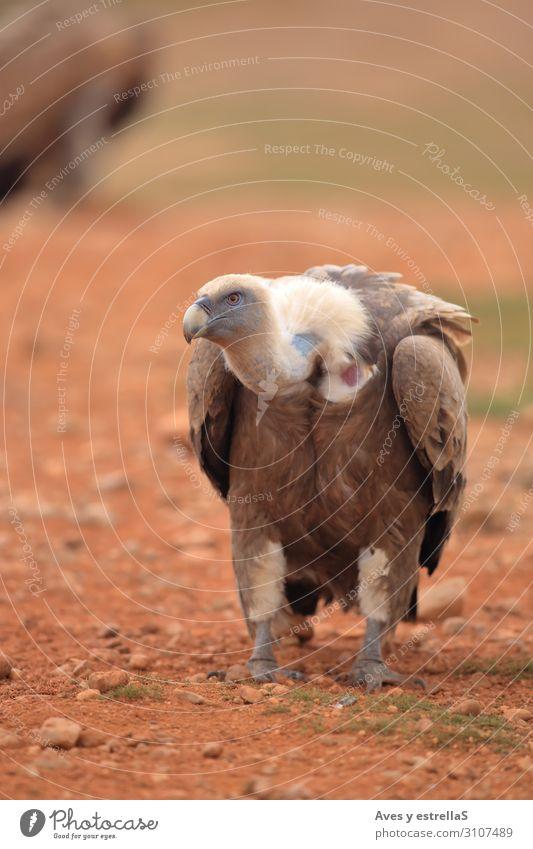 Griffon Vulture (Gyps fulvus) released Bird Animal Beak Nature Eagle Wild Gamefowl Scavenger Feather raptor Land-based carnivore Prater Pretoria Bird of prey