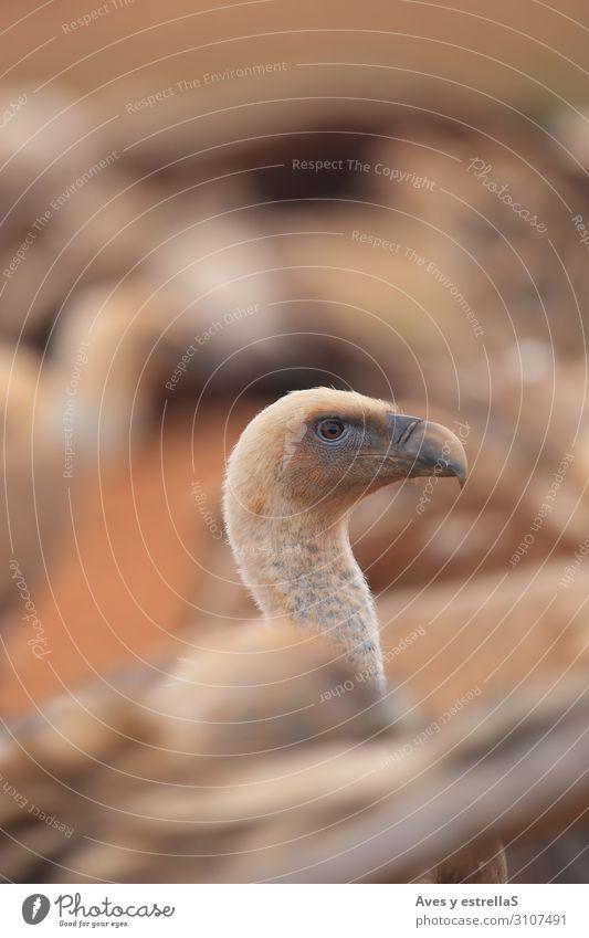 Griffon Vulture (Gyps fulvus) released Nature Animal Eyes Bird Brown Wild Head Pair of animals Gold Feather Beak Zoo Neck Goose Eagle Gamefowl