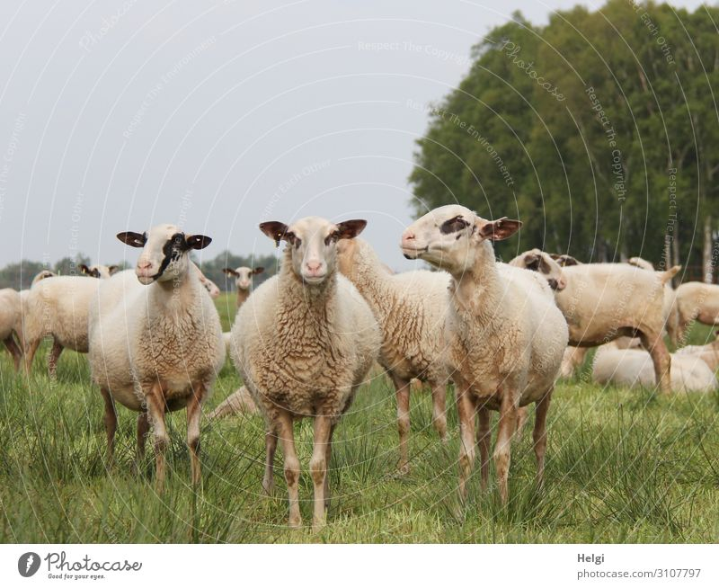 three sheep of a flock of sheep look curiously into the camera Environment Nature Landscape Plant Animal Summer Tree Grass Meadow Bog Marsh Farm animal Sheep