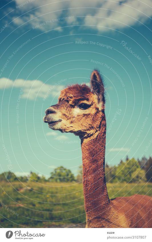 OH, MY GOD! Hairdresser Animal Sky Meadow Pelt Pet Farm animal 1 Beautiful Cuddly Funny Curiosity Cute Wild Blue Brown Watchfulness Llama karma Animalistic Head