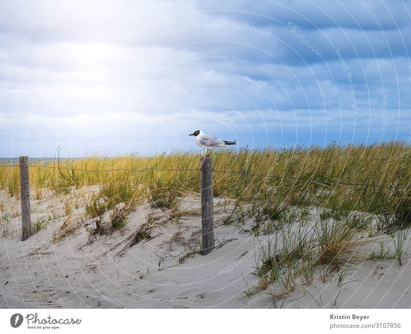 Seagull on the beach Vacation & Travel Beach Nature Landscape Plant Animal Sand Sky Grass Coast Baltic Sea Ocean Wild animal Bird 1 Water Observe Relaxation