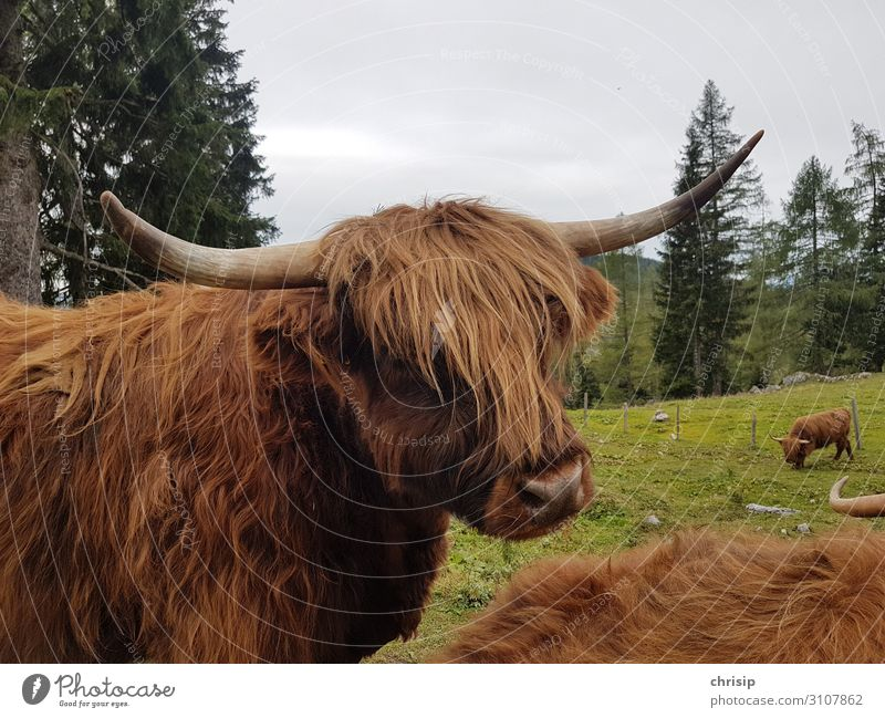 Scottish Highland Cattle Animal Farm animal Cow Animal face Highland cattle Nature Colour photo Exterior shot Deserted Day Animal portrait