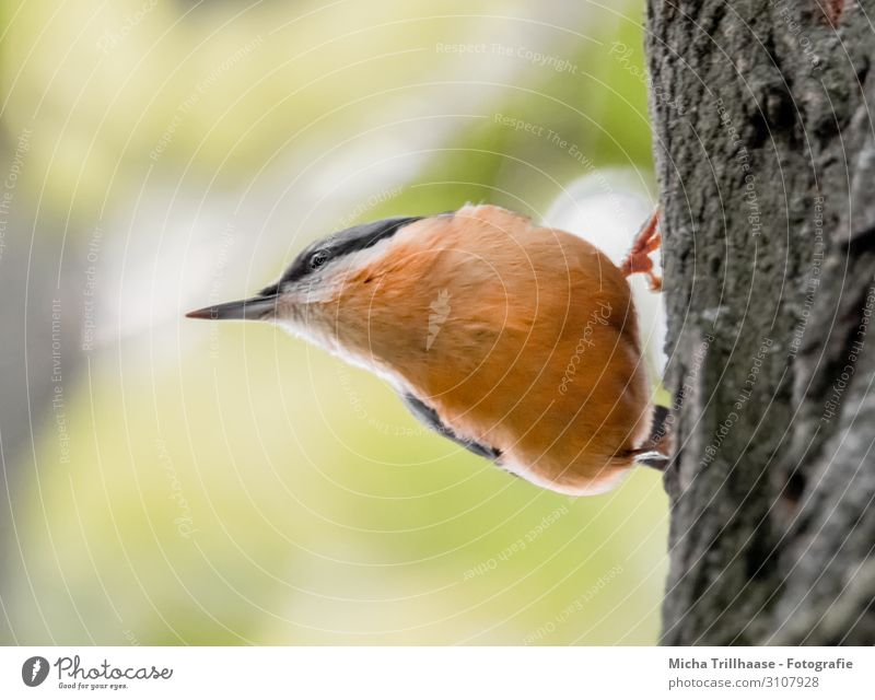 Nuthatch on a tree trunk Nature Animal Sun Sunlight Beautiful weather Tree Wild animal Bird Animal face Wing Claw Eurasian nuthatch Beak Eyes Feather Plumed 1
