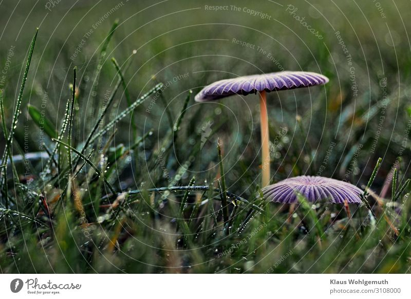 Nature Plant Blue Green Food Autumn Environment Sadness Meadow Grass Growth Stand Fantastic Violet Mushroom Lamella