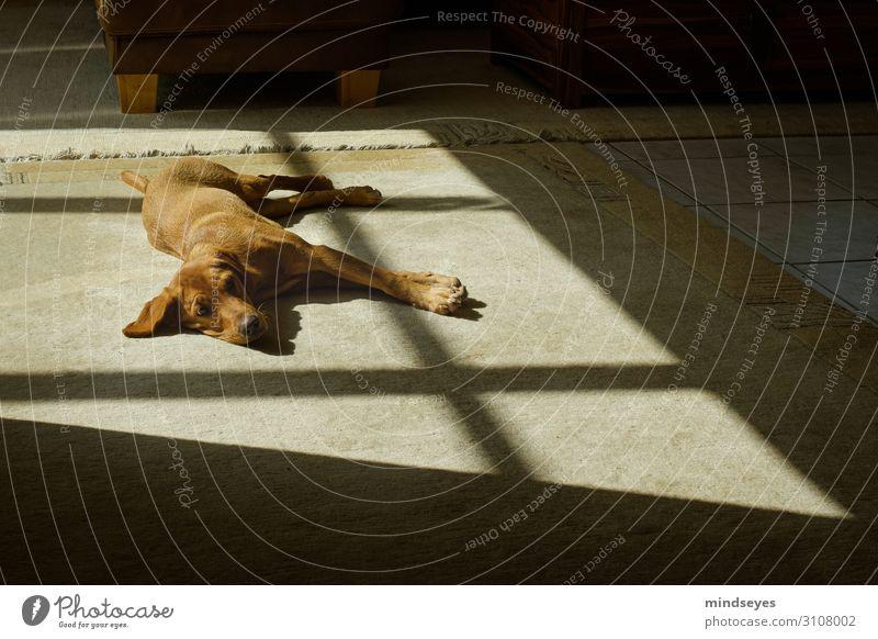 Labrador between light and shadow Flat (apartment) Living room Carpet Animal Pet Dog 1 Observe Relaxation Sleep Friendliness Warm-heartedness Serene Calm