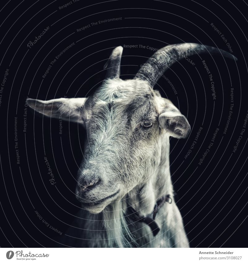 goat Animal Pet Farm animal Goats 1 Friendliness Happiness Uniqueness Funny Smart Gray Subdued colour Exterior shot Isolated Image Neutral Background Day