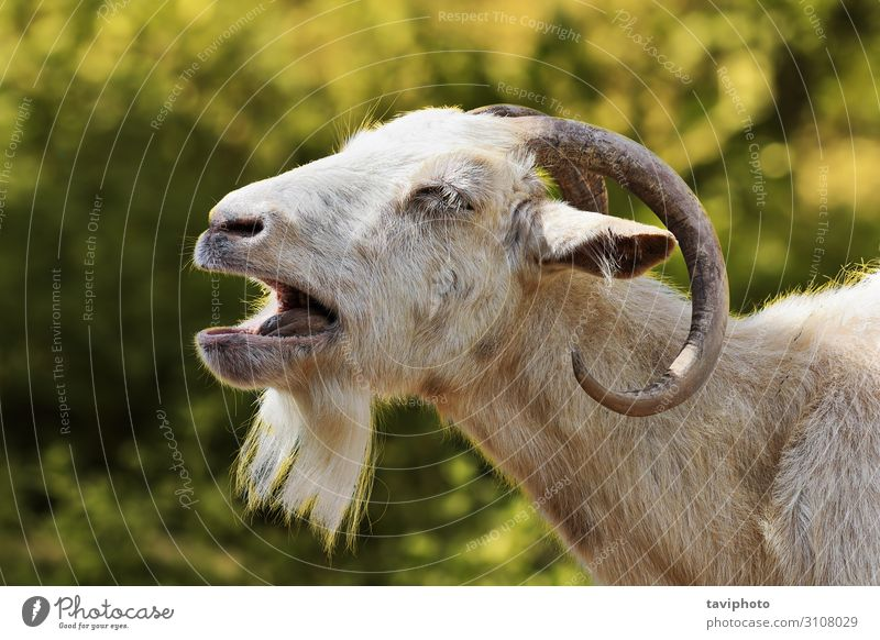 aggressive white billy goat Face Man Adults Nature Landscape Animal Fur coat Beard Aggression Long Cute Wild Anger Brown White Competition conflict power Sheep