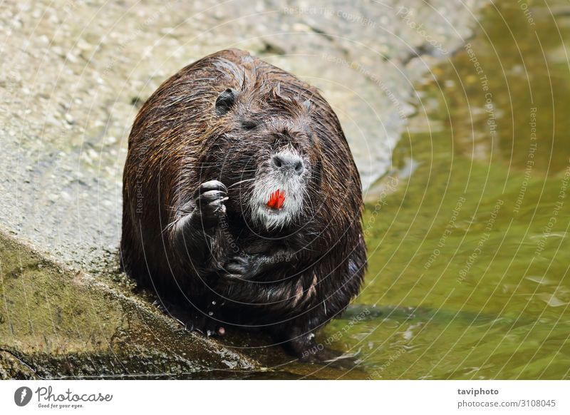 cute coypu cleaning fur Face Life Relaxation Teeth Zoo Nature Animal Pond Fur coat Small Wet Natural Cute Wild Brown Gray Black Nutria Mammal Incisor Harmful