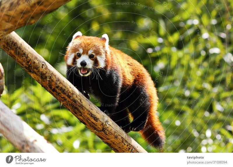red panda climbing high Nature Animal Tree Park Forest Fur coat Pet Cat Small Cute Wild Brown Green Red tail cat-bear bear-cat carnivora endangered catlike