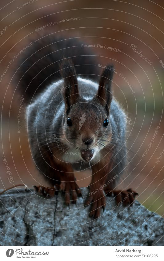 A  squirrel staring into the camera with a nut in its mouth adorable animal autumn background beauty blur blurry bokeh brown curious cute eat eating forest