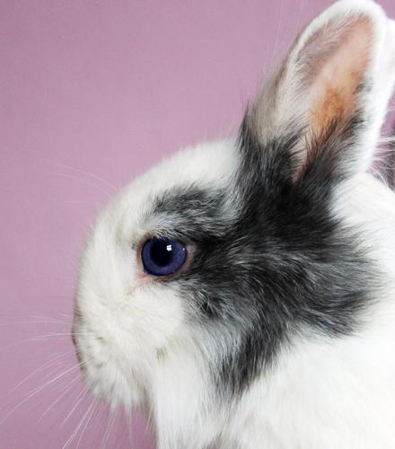 long ear Easter Animal Pet Pelt Zoo Hare & Rabbit & Bunny Hare ears Animal protection Eyes 1 Looking Esthetic Authentic Soft Gray Pink White Love of animals