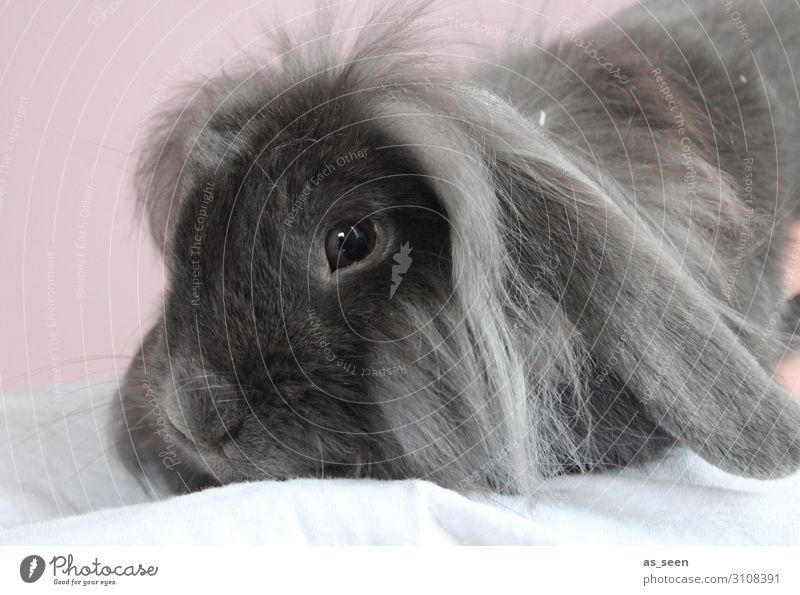hasi Animal Pet Animal face Pelt Hare & Rabbit & Bunny Rodent 1 Crouch Lie Esthetic Authentic Cuddly Cute Gray Pink Black Emotions Love of animals