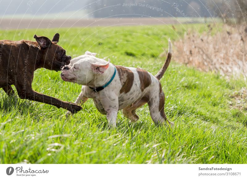 Boxers are playing outside in the meadow Style Joy Leisure and hobbies Playing Garden Nature Park Meadow Animal Dog 2 Discover Feeding Fight Walking Happy