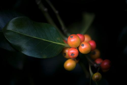 The fruits of holly Nature Plant Autumn Tree Leaf Foliage plant Berry seed head Holly Christmas thorn Ornamental plant Garden Park Forest Poisonous plant Growth