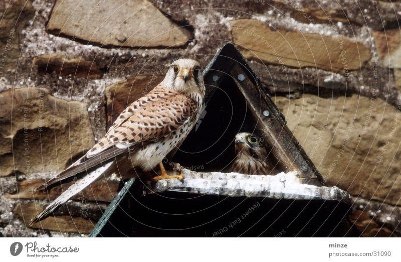 Nutrition Food Flying Vantage point Wild animal Nest Falcon