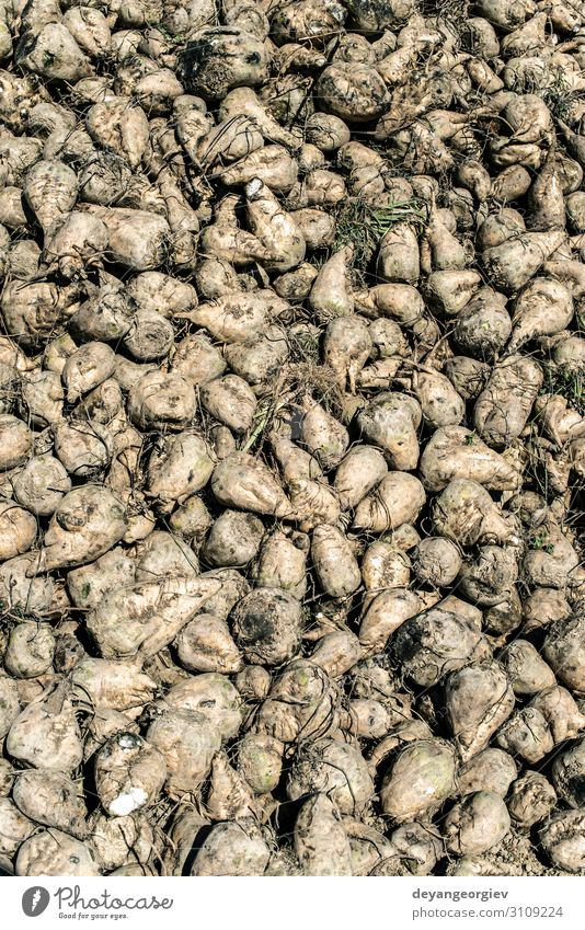 Heap sugar beet in farm. Vegetable Nutrition Industry Landscape Earth Growth Sugar beet Accumulation Red beet agriculture Root Harvest yield beets field Rural