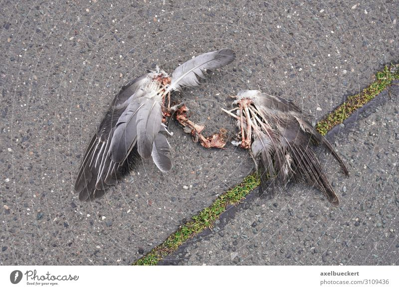 Bird Cadaver Wings Animal Dead animal Pigeon 1 Death cadaverous Remainder Bone Street Asphalt Broken Sacrifice Colour photo Subdued colour Exterior shot