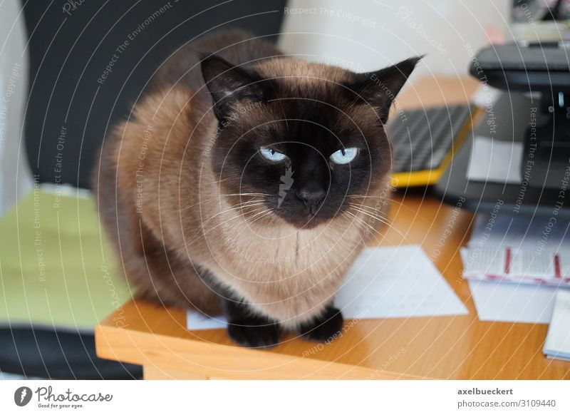 Cat on untidy desk Living or residing Flat (apartment) Desk Animal Pet 1 Sit Siamese cat Domestic cat purebred cat Untidy Table Obstinate Piece of paper
