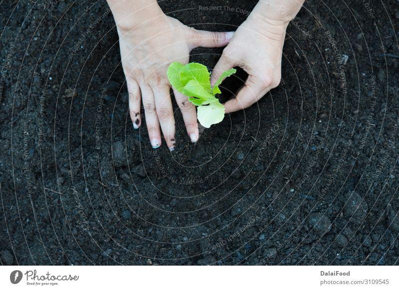 organic oak Lettuce plantation real scene Vegetable Nutrition Vegetarian diet Summer Garden Industry Technology Hand Environment Nature Plant Leaf Growth Fresh