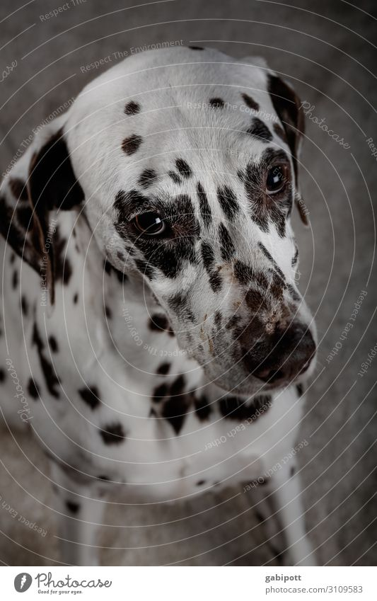 Can I have another...? Animal Pet Dog 1 Looking Kitsch Sweet Cute Puppydog eyes Beg Love of animals Dalmatian Eyes Point Colour photo Interior shot Close-up