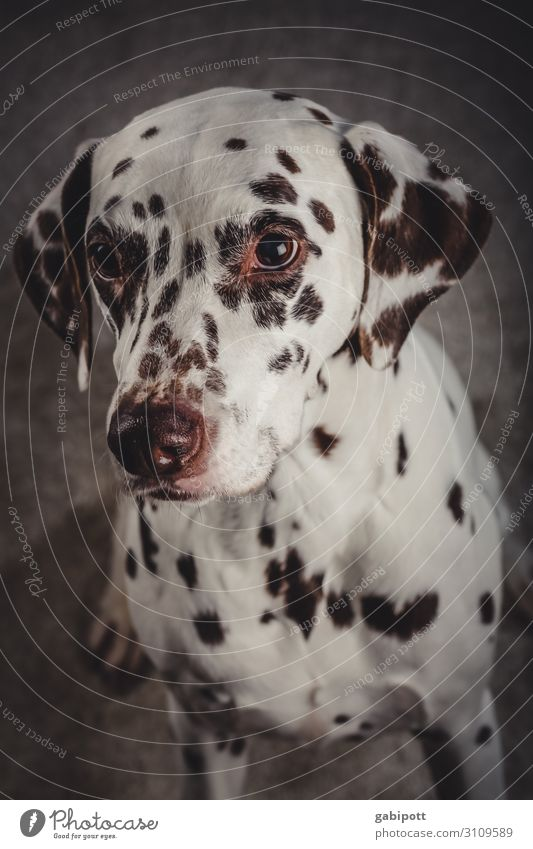 Young Dalmatian practices doggy eyes Dog Pet Colour photo Animal Cute Deserted Love of animals Animal face Interior shot Animal portrait Shallow depth of field