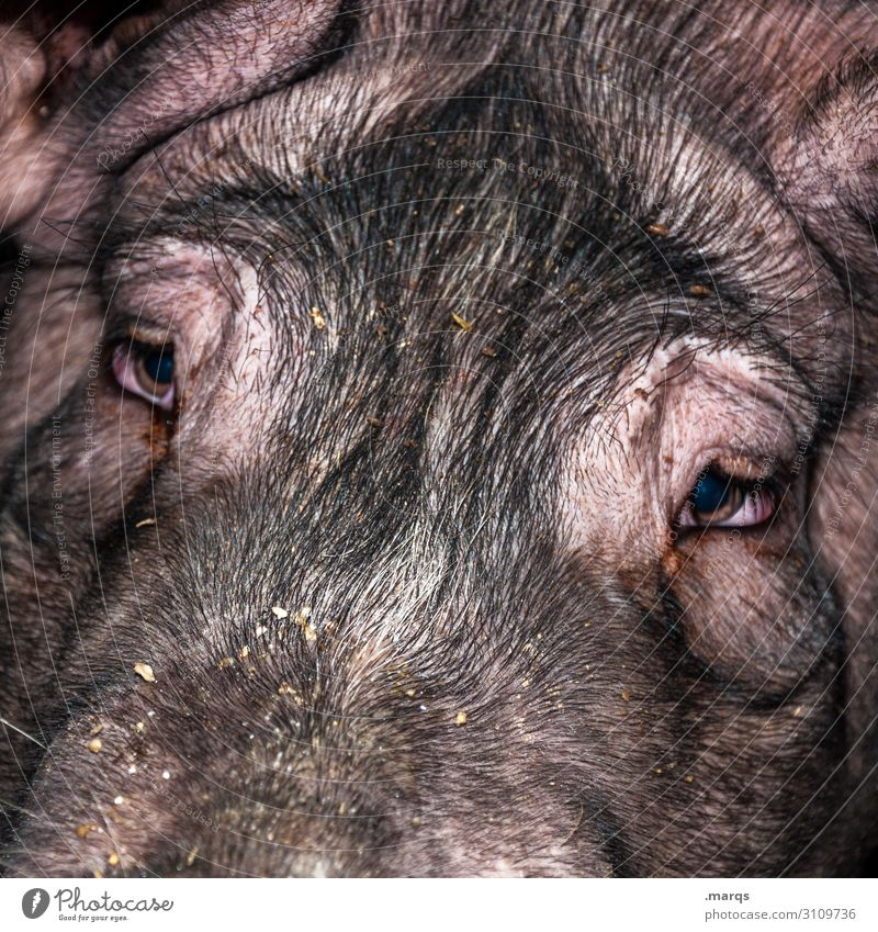 lucky pig Livestock breeding Agriculture Forestry Animal Farm animal Animal face Swine 1 Looking Near Sustainability Intensive stock rearing Colour photo Detail