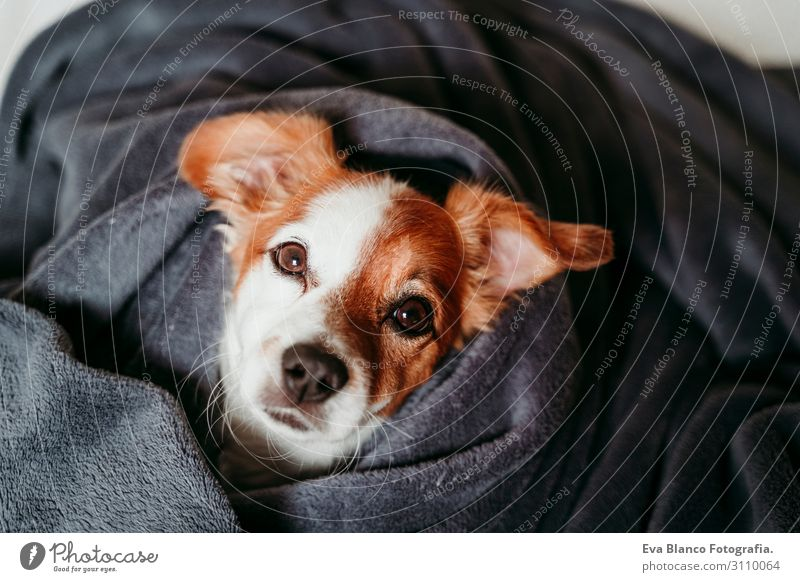 cute small jack russell lying on bed covered with grey blanket Lifestyle Happy Beautiful Face Winter House (Residential Structure) Animal Autumn Pet Dog Sleep