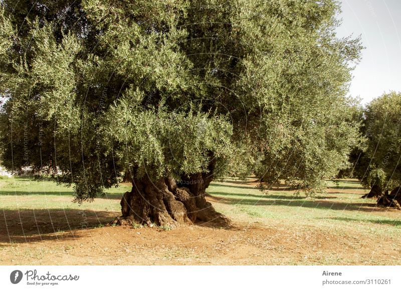 oil producer Agriculture Forestry Plant Beautiful weather Tree Agricultural crop Olive tree Olive grove Old Uniqueness Natural Original Dry Green Dependability