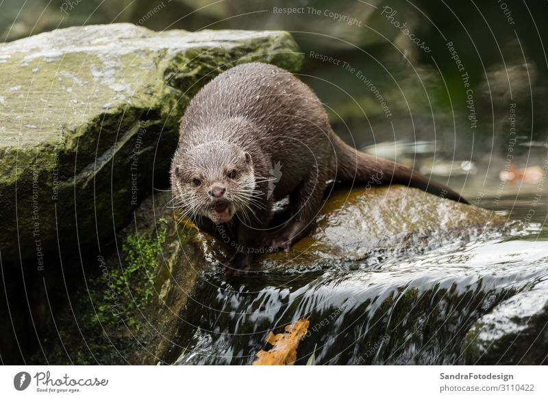 A wet otter on the water Life Adventure Zoo Nature Animal Wild animal 1 Feeding Dive Wet Otter wildlife For river cute mammal portrait face close brown predator