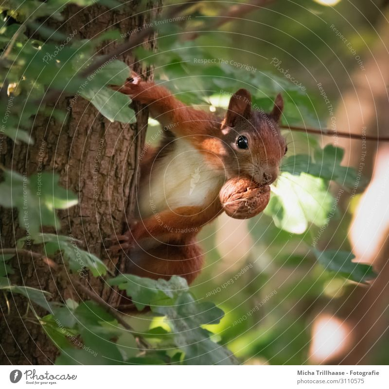 Attentive squirrel with nut in mouth Nature Animal Sun Sunlight Beautiful weather Tree Leaf Tree trunk Forest Wild animal Animal face Pelt Claw Paw Squirrel